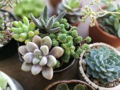 Succulents of different colors and sized are in pots on a dark table.