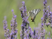 A butterfly with white and purple stripes on its wings flies up to a stalk of lavender.