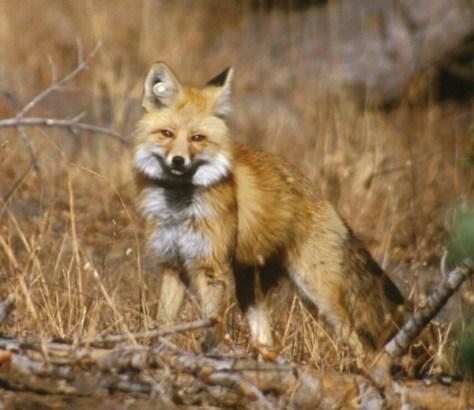A Sierra Nevada red fox in Lassen Volcanic National Park. (Keith Slausen/U.S. Forest Service)