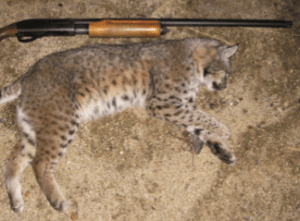 dead bobcat and rifle