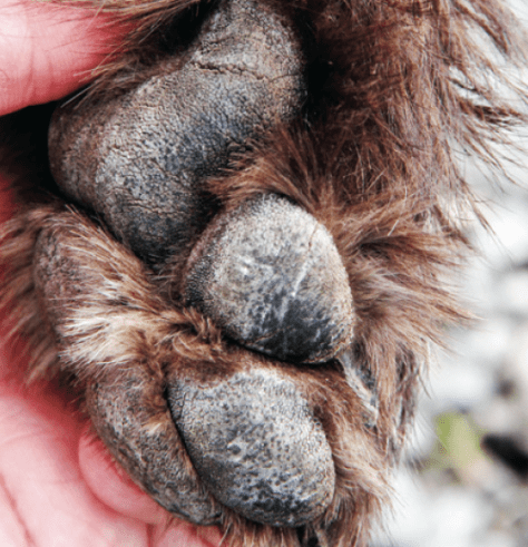 When it comes to getting a dog's feet into hunting shape, train them on gravel. Doing so will toughen their pads, strengthen their toes, feet and legs and naturally wear down their toenails. (