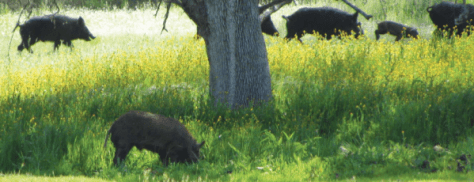 Wild pigs in a green field