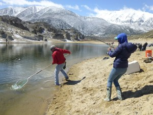 "Crowley Lake gets probably the most fishing pressure for the trout opener, but there is still plenty of shoreline for ""bank robbers"" to pick a spot and net a trout on April 30. (MIKE STEVENS)"