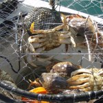 More Areas Opening For Crabbing This Weekend
