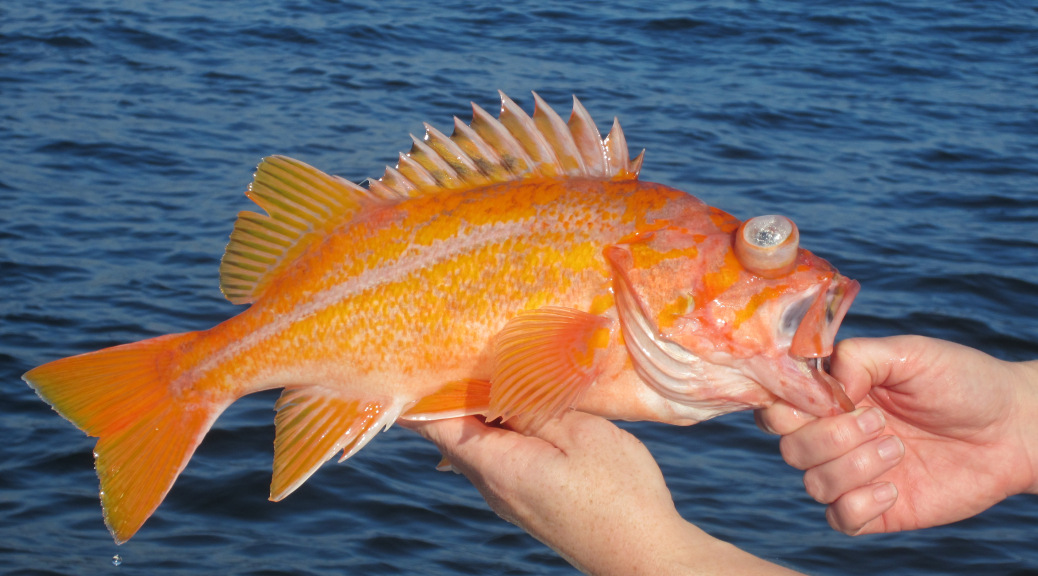 New rockfish regulations for 2017 for California fishing regulations