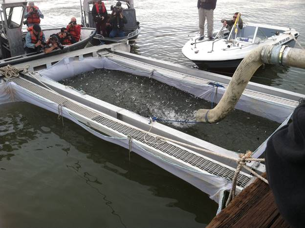 Bodega bay to receive 250 000 baby salmon for Bodega bay fishing charters