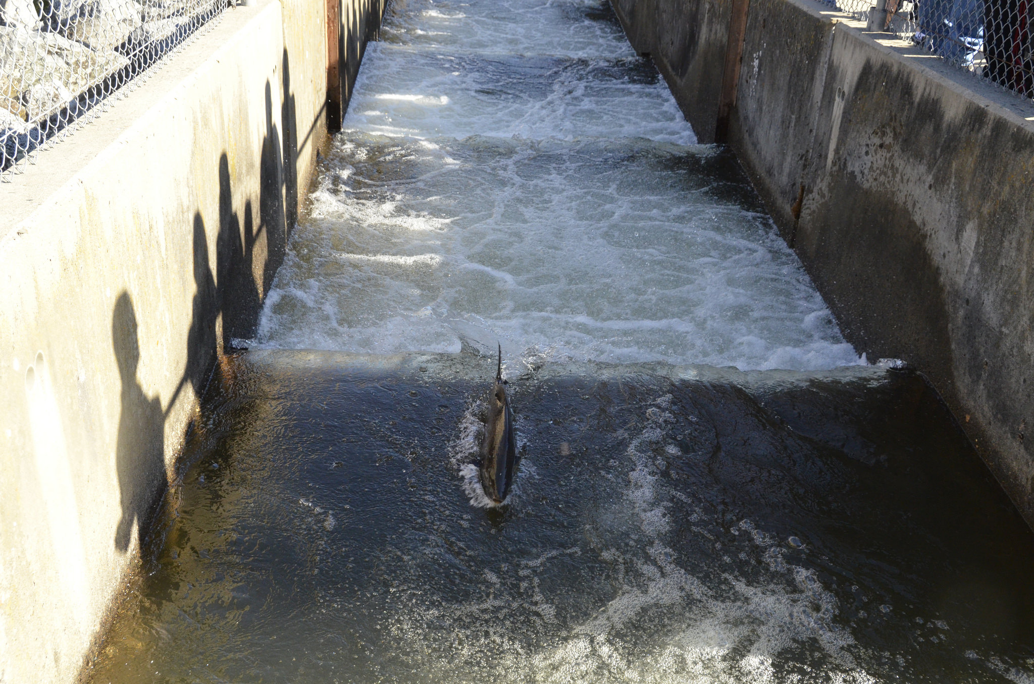 Hundreds of thousands of chinook die in pump failure many for Feather river salmon fishing