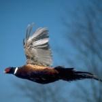 Restored Prairie Grows Pheasants and Pollinators on Public Land