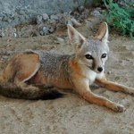 CDFW: Rodenticides Poison Killed Two Endangered San Joaquin Kit Foxes
