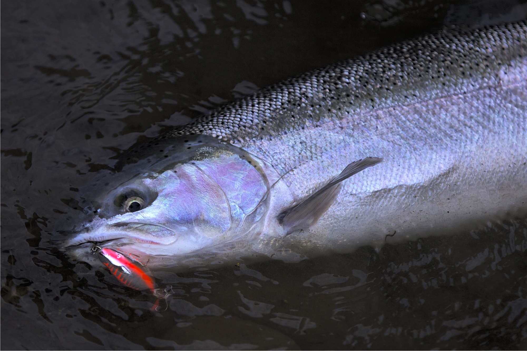 Napa river steelhead count down for Napa river fishing