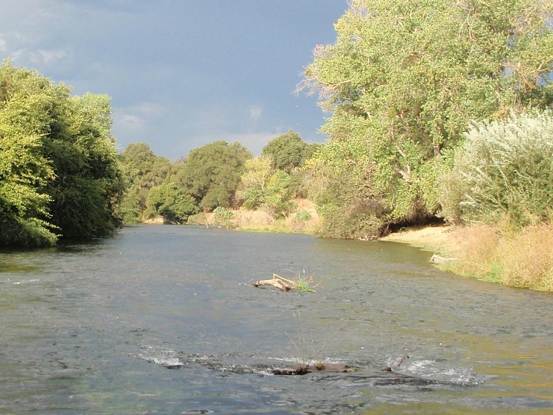 Steelhead coming back to the 39 moke 39 for Mokelumne river fishing