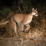 Mountain Lion Euthanized After Cupertino Attack