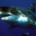 Charter Boat Hooks Giant Shark In S.F. Bay