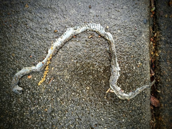 Dead Snake, Decatur, GA