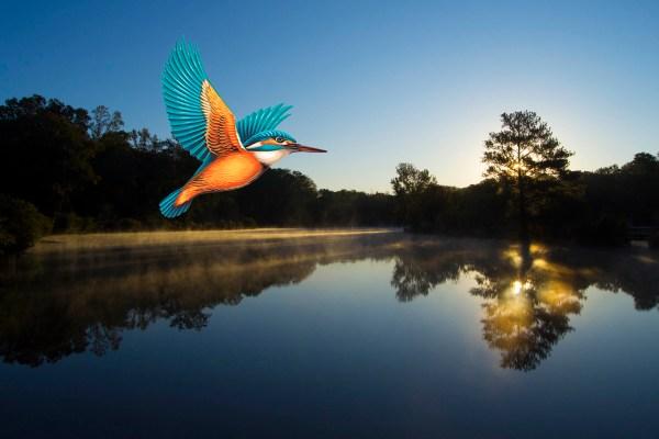 Kingfisher over Pine Lake, GA ©Calvin Burgamy