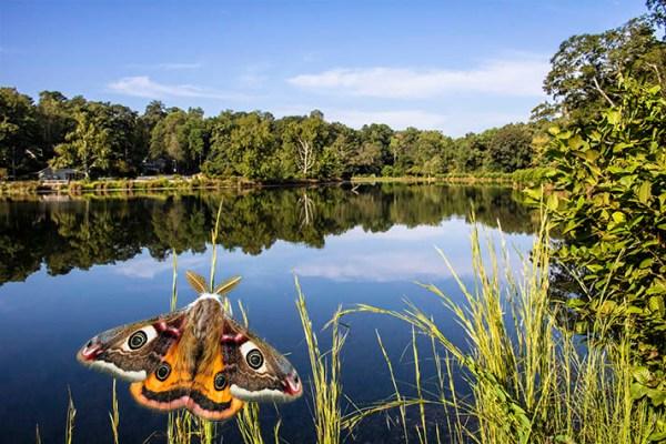 Emperor Moth (Saturnia pavonia), Pine Lake, GA