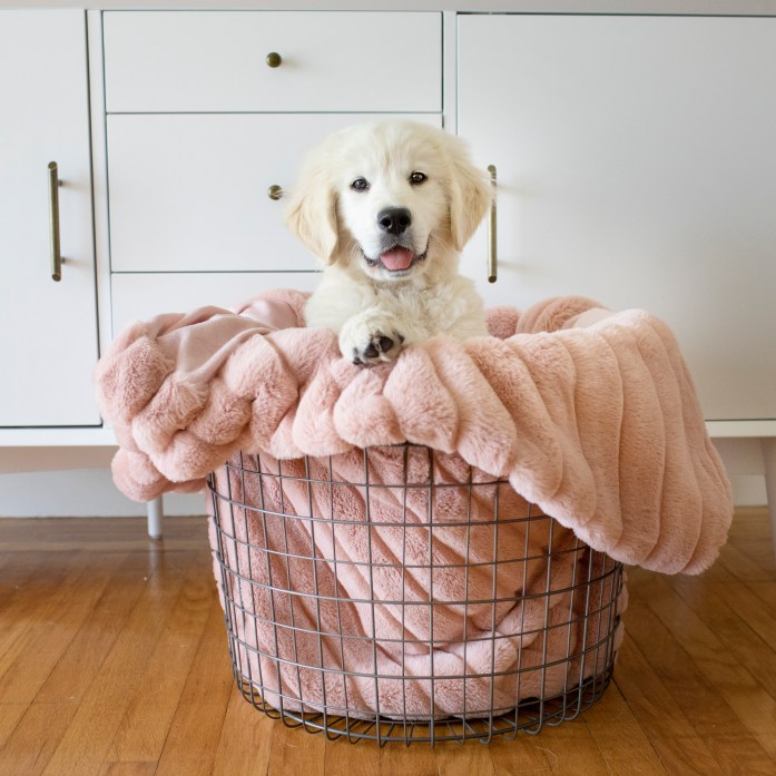 golden retriever puppy in basket with a pink throw blanket. english cream golden