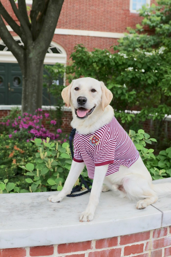 dog wearing a harvard polo sitting in front of a brick building