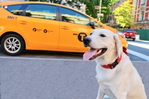 dog in front of a new york yellow taxi