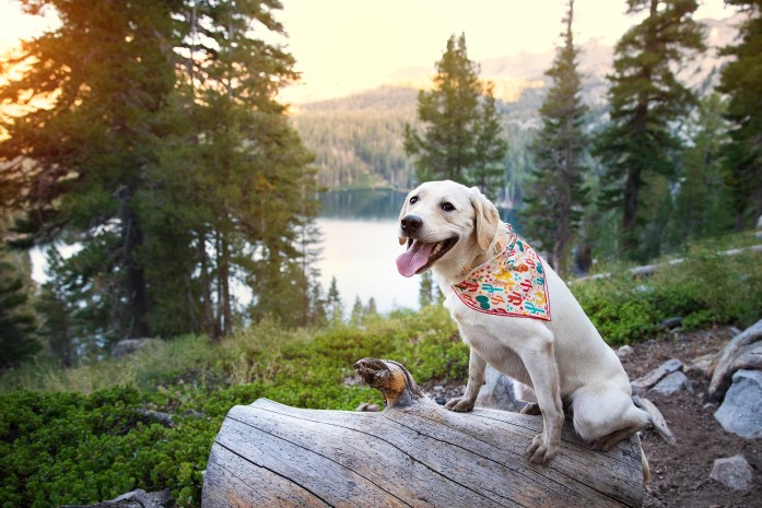 dog standing on a rock in front of lake george in mammoth lakes