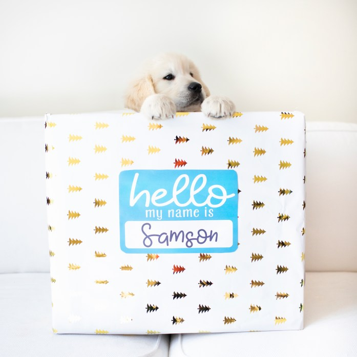 8 week old golden retriever puppy in a box. Puppy announcement photo