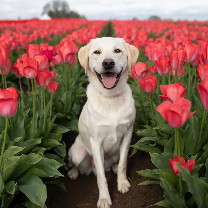 labrador in front of pink tulip flowers
