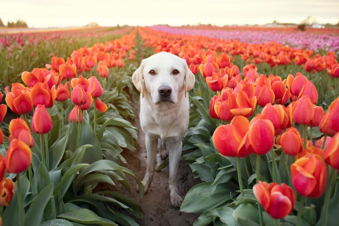 dog in front of colorful tulips