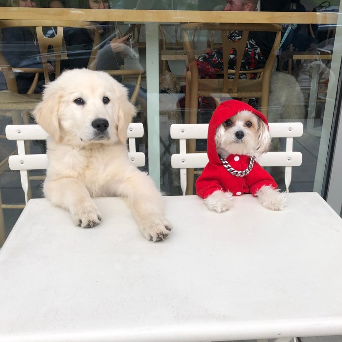 golden retriever puppy and maltese sitting at a table