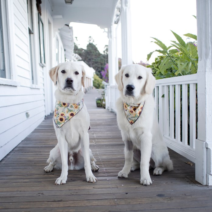 two retriever dogs with sunflower bandanas