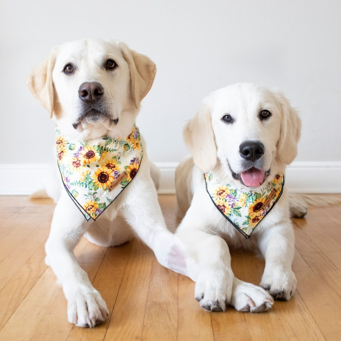two dogs laying down wearing sunflower bandanas