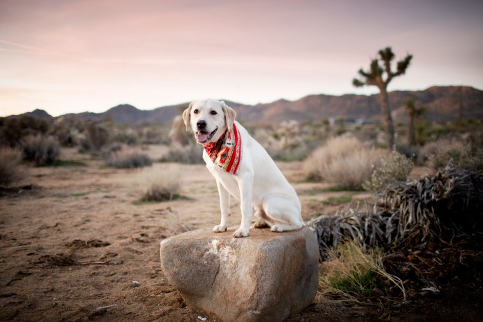 sunrise with a dog at joshua tree national park