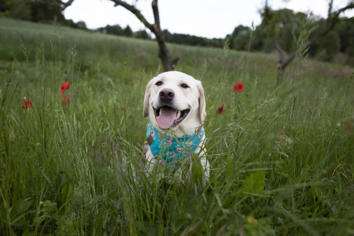 dog in a field of poppies in the loire river valley