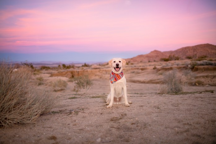 dog sitting in the dessert at joshua tree sunset