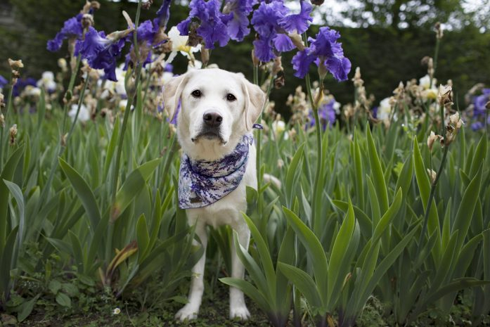 dog standing between lavender purple flowers