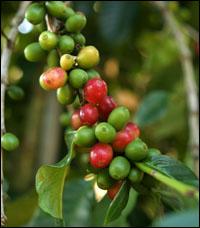 estratto di chicco di caffè verde 50 acido clorogenico