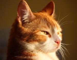 Calypso Pension Chats Vendée Ginger