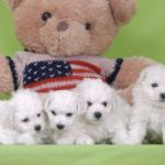Bichon Frise puppies with teddy bear