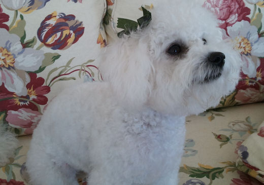 Grooming Your Bichon Frise
