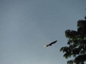 fruit-bat-in-flight