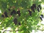 wine-grapes