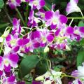 Purple orchid these are hanging plants and can be a bit delicate 2