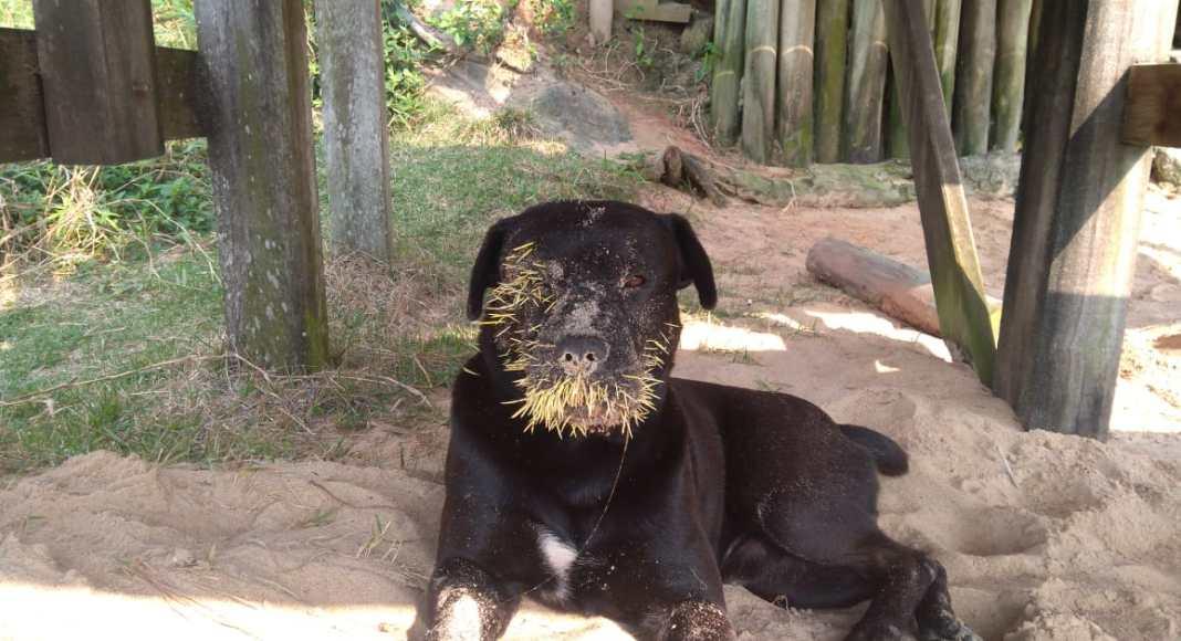Cão atacado por porco-espinho
