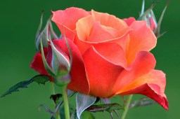 rose-to-give