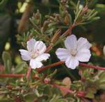 C73 Fra pauciflora