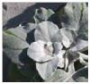 W12 A-populifolia