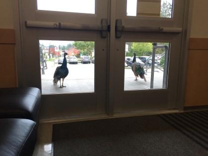 Curious peacocks