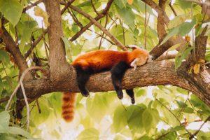 red panda on tree