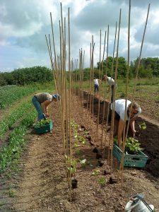 Runner bean planting 02-07-09