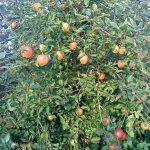 apples-lord-hindlip-camel-csa 25-09-09
