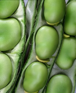 broadbeans-in-pod-camelcsa